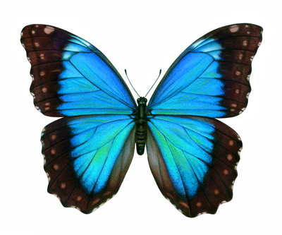 The Morpho Butterfly - metamorphosis in my life?