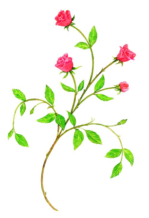 Roses Watercolor