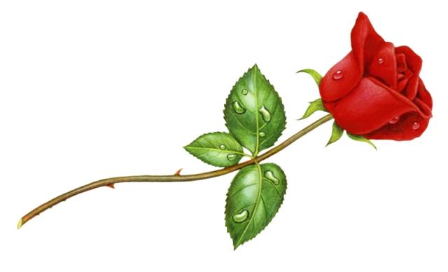 Rosebud right
