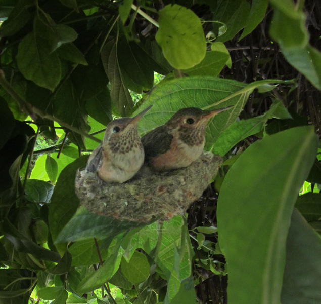 "This is a photo I enhanced to use for my song cover for ""The Unknown."" I cropped in on the one baby hummingbird that would soon fly away to face a new life outside the nest."