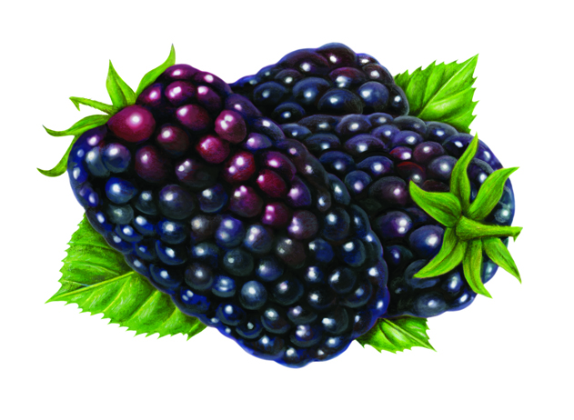 My final illustration of Marion Berries.