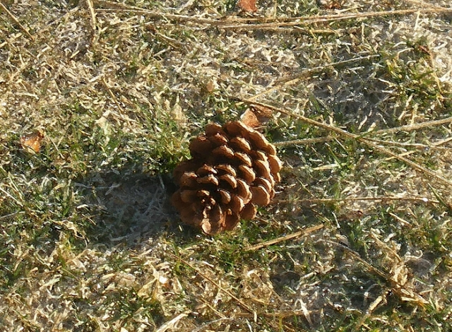 Pine Cone on sparkling lawn