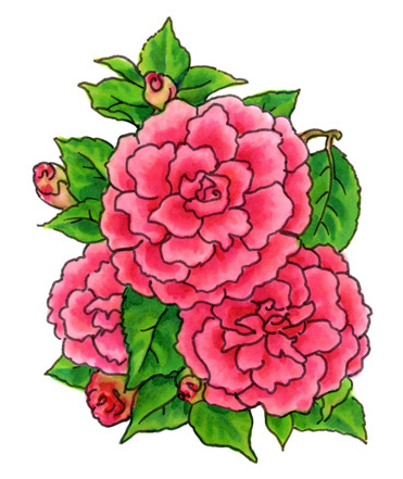 Watercolor Camelias