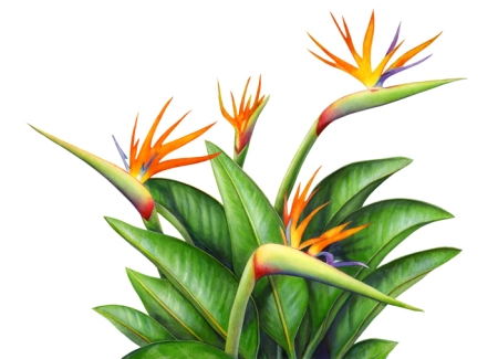 "Okay, it's not another bird image – but it is a ""Bird of Paradise"" plant. I created this image by extracting it from a larger painting, which is at the end of this post."