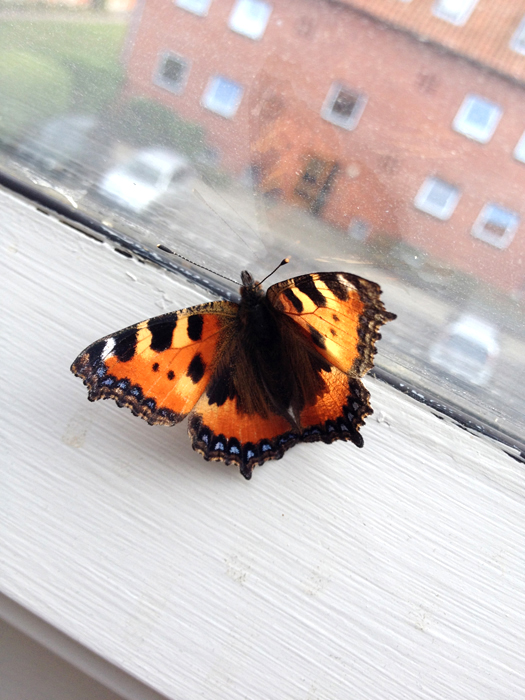 butterfly at the window 1