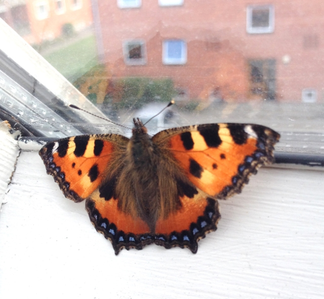 Last week, I corresponded with a lovely woman in Denmark who found my blog. She sent me this remarkable photo of a butterfly that landed on her windowsill. I will share some of our emails at the end of this post.