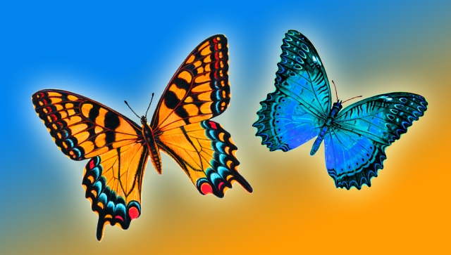 blue gold butterfly pair