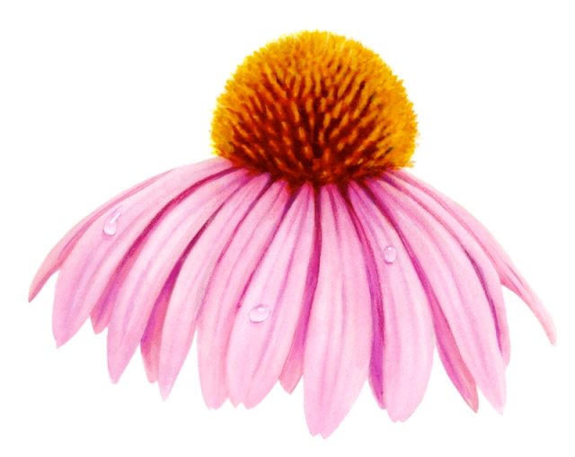 This illustration was for a vitamin label. Echinacea is cold remedy – but I didn't take it this time.