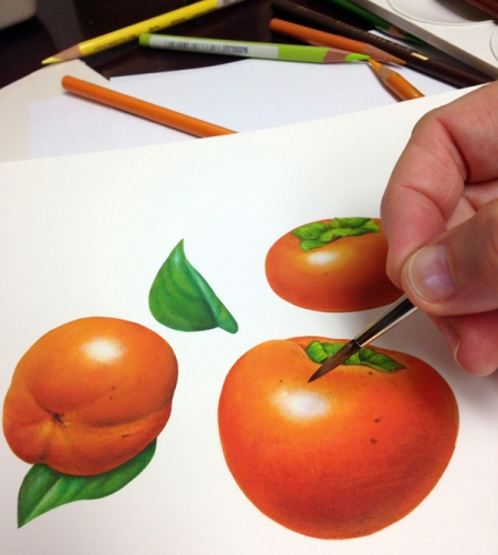 I pulled out my paintbrushes to illustrate a fruit I've never illustrated – persimmons.