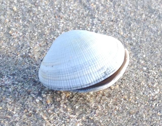 Alabaster Seashell Photo 1