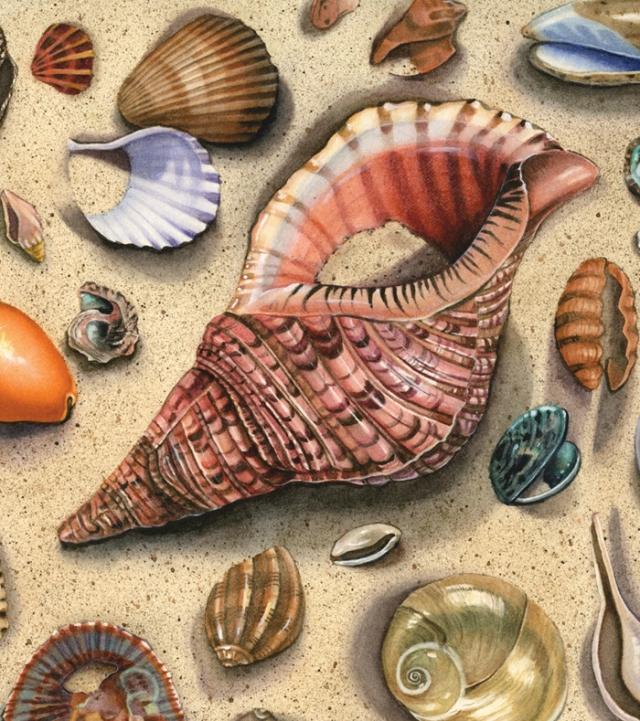 Seashells-Pink Triton