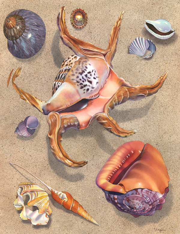Seashells with Spider Conch