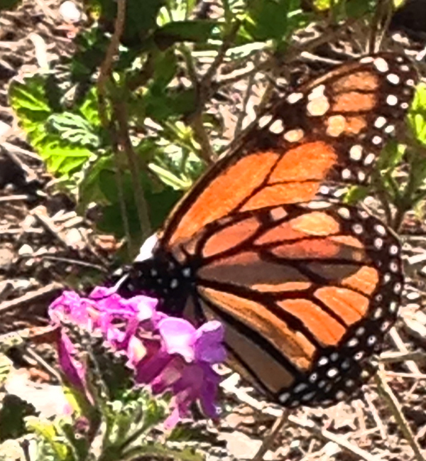 I was pleased to snap a picture of this Monarch Butterfly last week; spring is here!