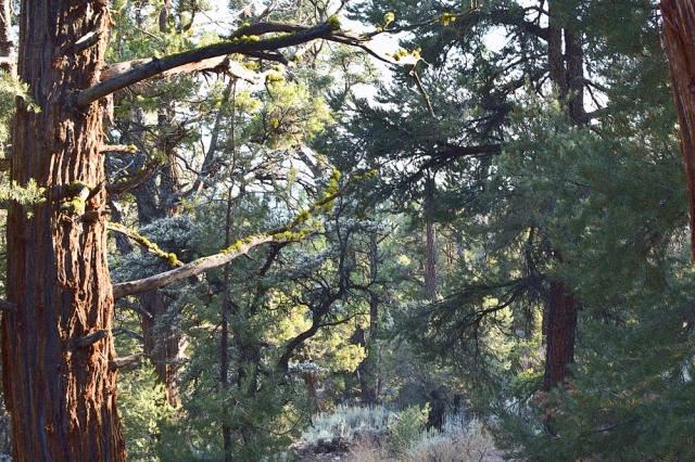 Big Bear Forest 1