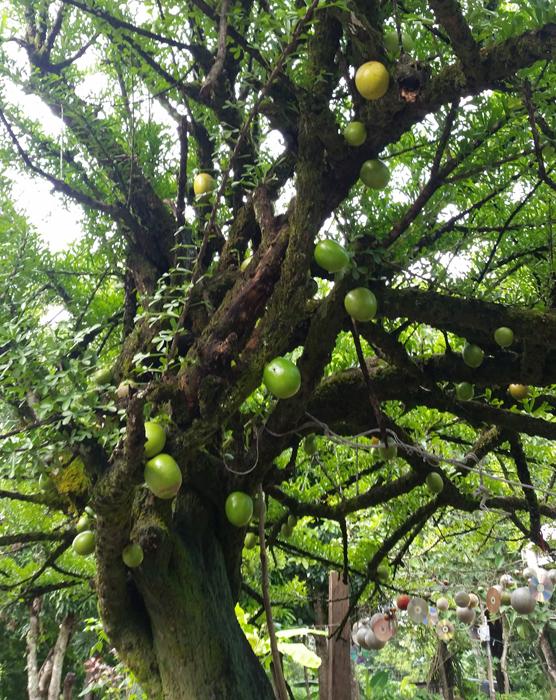 maraca-tree